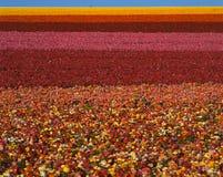 Felder der Ranunculusblumen in Kalifornien Stockfotografie