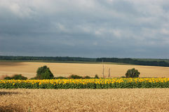 Felder der Sonnenblumen und des Weizens Stockfotos