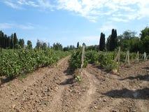Felder der Trauben-Reben Stockfotos