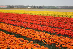 Felder der Tulpen stockfoto