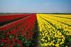 Felder der Tulpen Stockfotografie