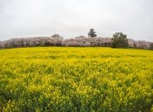 Felder des gelben blühenden nanohana bei Gongendo parken in Satte, Saitama, Japanselective-Fokus stockbild