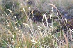 Felder des gelben Gebirgsgrases im Herbst Rumänien Stockbilder