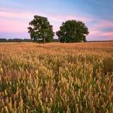 Felder des Getreides Stockbilder