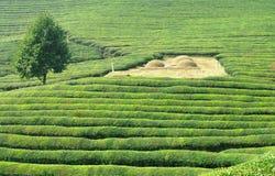 Felder des grünen Tees Stockbilder