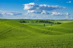 Felder des grünen Weizens in Ost-Staat Washington Lizenzfreie Stockfotos
