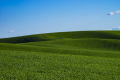Felder des grünen Weizens in Ost-Staat Washington Stockfotos