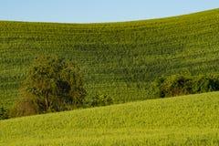Felder des grünen Weizens in Ost-Staat Washington Stockbilder