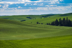 Felder des grünen Weizens in Ost-Staat Washington Stockbild