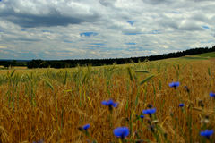 Felder des Korn- und Kornblumehintergrundes mit Wald Lizenzfreies Stockfoto