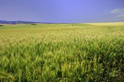 Felder des Kornes im Palouse Stockfoto