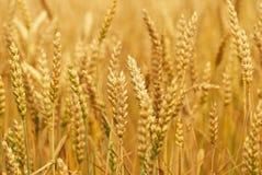 Felder des Weizens Stockfotografie