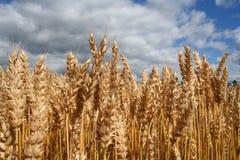 Felder des Weizens Lizenzfreie Stockfotos