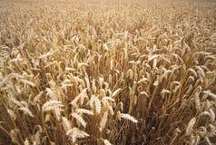 Felder des Weizens am Sommer Stockbild