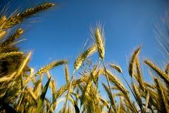 Felder des Weizens am Sommer Lizenzfreie Stockfotos