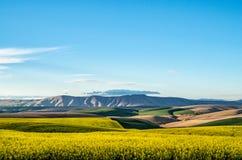Felder des Weizens und des Canola in Mittel-Oregon Lizenzfreies Stockbild