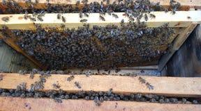 Felder mit Biene Lizenzfreie Stockbilder