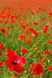 Felder mit einer roten Mohnblume Lizenzfreie Stockfotografie
