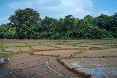 Felder mit Ernten des Reises in Sri Lanka Stockfotografie