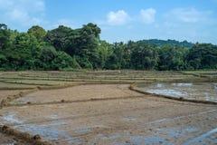Felder mit Ernten des Reises in Sri Lanka Stockfoto
