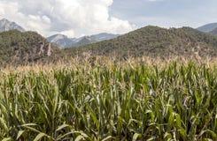 Felder mit Mais Stockfoto