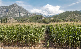 Felder mit Mais Lizenzfreie Stockfotografie