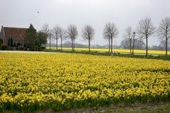 Felder mit Narzissen und niederländischen Häusern im Frühjahr Lizenzfreie Stockfotos