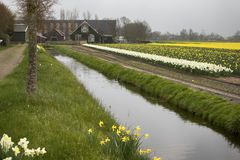 Felder mit Narzissen und niederländischen Häusern im Frühjahr Stockbild