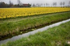 Felder mit Narzissen und niederländischen Häusern im Frühjahr Lizenzfreies Stockbild