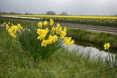 Felder mit Narzissen und niederländischen Häusern im Frühjahr Stockbilder