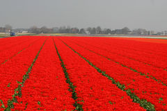 Felder mit roten Tulpen Lizenzfreie Stockfotos
