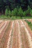 Felder und Pappel Stockbilder