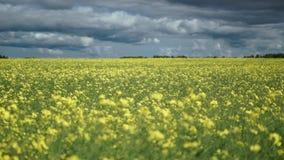 Felder voll von den gelben Rapssamenblumen für Rapsölproduktion stock footage