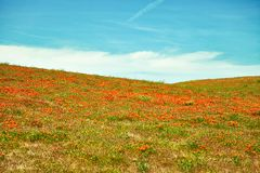 Felder von Kalifornien-Mohnblume während der Höchstblütezeit, Antilopen-Tal Kalifornien Poppy Reserve Stockfotografie