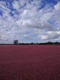 Felder von Moosbeeren Stockbild