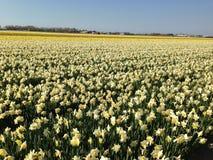 Felder von Narzissen in den Niederlanden stockfotografie