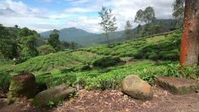 Felder von Nuwara Eliya stock footage