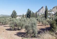 Felder von Olivenbäumen lizenzfreie stockfotos