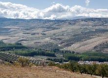 Felder von Olivenbäumen stockbilder