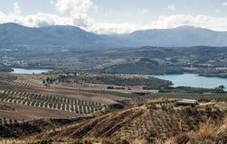 Felder von Olivenbäumen stockfoto