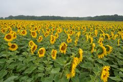 Felder von Sonnenblumen nach dem Regen Frühstück für eine Person Stockbilder