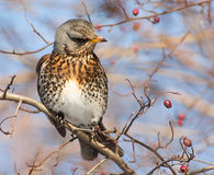 Feldfare σε ένα δέντρο το χειμώνα Στοκ φωτογραφία με δικαίωμα ελεύθερης χρήσης