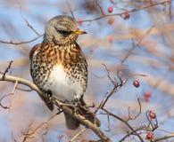 Feldfare på ett träd i vinter royaltyfri foto