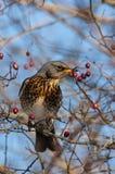 Feldfare på ett träd i vinter royaltyfria bilder
