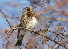 Feldfare på ett träd i vinter royaltyfri bild