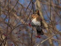 Feldfare på ett träd i vinter royaltyfri fotografi