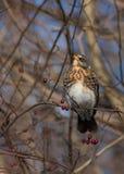 Feldfare på ett träd i vinter arkivfoto
