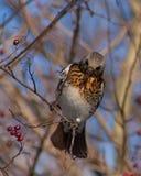 Feldfare på ett träd i vinter arkivfoton