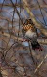 Feldfare på ett träd i vinter fotografering för bildbyråer