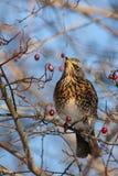 Feldfare sur un arbre en hiver Images stock